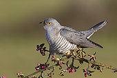 Cuckoo (Cuculus canorus) perched amongst crabapple blossom (Mallus), England