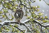 Little owl (Athena noctua) perched in an apple tree during a snow fall, England