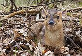 Muntjack deer (Muntiacus reevesi) lying in a woodland, England