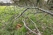 Muntjack deer (Muntiacus reevesi) lying in the grass