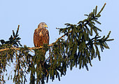 Red kite (Milvus milvus) perched in a pine tree, England