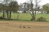 Roe deer (Capreolus capreolus) walking in a crop, england