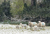 Sheep ( Ovis aries) walking in a meadow while snowing, England