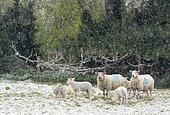 Mouton (Ovis aries) dans un pré sous la neige, Angleterre