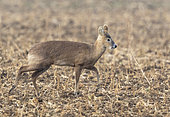 Chinese water deer (Hydropotes inermis) walking amongst stubbles, England