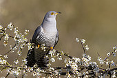 Cuckoo (Cuculus canorus) perched on a blackthorn, England