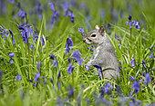 Grey squirrel (Sciurus carolinensis) amongst bluebell, England