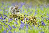Grey squirrel (Sciurus carolinensis) amongst bluebell