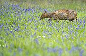 Muntjack deer (Muntiacus reevesi) walking amongst bluebell, England
