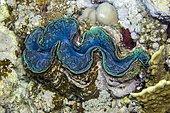 Bénitier commun (Tridacna maxima), To Hal Hal Hal Reef, safaga, mer Rouge, Egypte