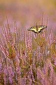 Swallowtail (Papilio machaon) in Heide, North Rhine-Westphalia, Germany, Europe
