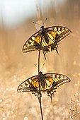 Swallowtail (Papilio machaon), two, North Rhine-Westphalia, Germany, Europe