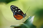 Ismenius tiger or tiger heliconian (Heliconius ismenius), butterfly sitting on a leaf, Germany, Europe