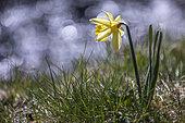Wild daffodil (Narcissus pseudonarcissus) near a stream, Vosges, France
