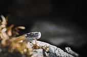 Asp viper (vipera aspis) head, Bollenberg, Alsace, France