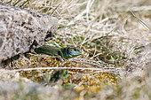 European green lizard (Lacerta bilineata), Bollenberg, Alsace, France