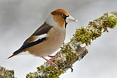Hawfinch (Coccothraustes coccothraustes) on a branch in winter, France