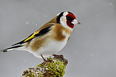 Goldfinch (Carduelis carduelis) on a branch in winter, France