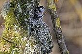 Long-tailed tit (Aegithalos caudatus) building a nest, France
