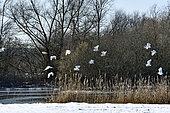 Grande Aigrette (Ardea alba), vol en groupe sur la basse vallée de l'Allan, Brognard, Doubs, France