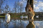 Mute swan (Cygnus olor) and willow gnawed by a European beaver (Castor fiber), Allan natural area, Brognard, Doubs, France