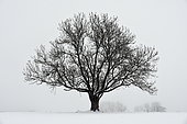 Trees under the snow in winter, Montandon, Doubs, France
