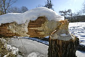 Willow gnawed by a European beaver (Castor fiber) covered by snow, Allan natural area, Brognard, Doubs, France