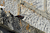 Wallcreeper (Tichodroma muraria) on the wall of a church in the Haut-Doubs, France