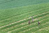 Roe deers (Capreolus capreolus) running away in a field, Pas de Calais, France