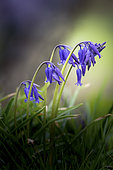 Bluebells (Hyacinthoides non scripta) in flower in spring, Pas de Calais, France