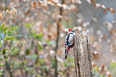Middle Spotted Woodpecker (Dendrocopos medius) on a dead tree trunk in spring, Moselle, France