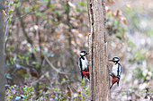 Greater Spotted Woodpecker (Dendrocopos major) male and female on a dead tree trunk in spring, Moselle, France