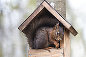 Red squirrel (Sciurus vulgaris) at a feeder in spring, Moselle, France