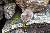 Bank vole (Myodes glareolus) in a wood pile in spring, Moselle, France