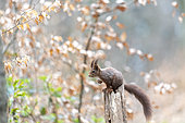 Red squirrel (Sciurus vulgaris) on a dead tree in forest in spring, Moselle, France