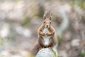 Red squirrel (Sciurus vulgaris) male on a branch in forest in spring, Moselle, France