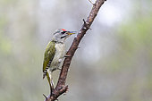 Grey-headed woodpecker (Picus canus) male on a branch in spring, Moselle, France