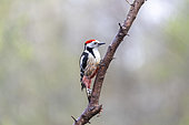 Middle Spotted Woodpecker (Dendrocopos medius) on a branch in spring, Moselle, France