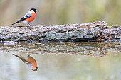 Bullfinch (Pyrrhula pyrrhula) male reflecting in a pond in spring, Moselle, France