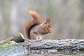 Red squirrel (Sciurus vulgaris) female on a branch in forest in spring, Moselle, France