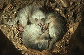 Raccoons (Procyon lotor), young in nesting cave, raccoon, cave