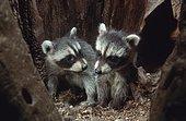 Raccoons (Procyon lotor), young animals in tree den, raccoon