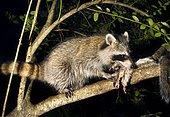 North American raccoon (Procyon lotor) feeding on a killed squirrel in a tree at night, Lilburn, Georgia, United States, North America