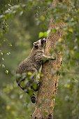 Raccoon (Procyon lotor) climbing up a tree, captive, Germany, Europe
