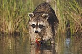 Northern Raccoon (Procyon lotor), adult in water eating Crayfish, Crawfish (Astacidae), Sinton, Corpus Christi, Coastal Bend, Texas, USA, North America