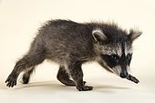 Raccoon (Procyon lotor), walking and looking at the viewer, young animal, captive, 8 weeks, studio recording, Austria, Europe