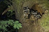 Raccoons (Procyon lotor), Vixen with two young animals, looking out of her tree cavity, Hesse, Germany, Europe