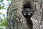 Two (Procyon lotor), young animals, looking out of the hollow of an oak tree, Hesse, Germany, Europe
