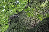 Raccoon (), climbs to trunk (Quercus), Hesse, Germany, Europe