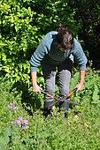 Broyage d'engrais vert à la cisaille, engrais vert en permaculture, France